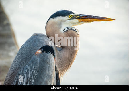 Great Blue Heron perched on a seawall along Matanzas Bay in St. Augustine, Florida, USA. - Stock Photo