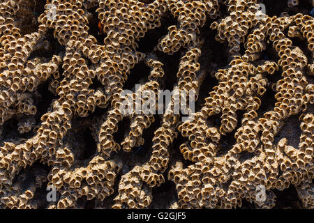 Sandy tubes of the Honeycomb Worm Sabellaria alveolata on rocks of the Gower peninsula in South Wales UK - Stock Photo