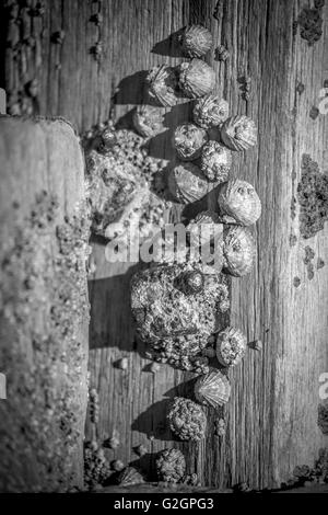 Stranded limpet shells on a beach in Norfolk - Stock Photo