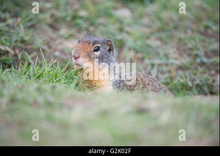 Urocitellus columbianus, columbian ground squirrel, Rocky Mountains, British Columbia, Canada - Stock Photo