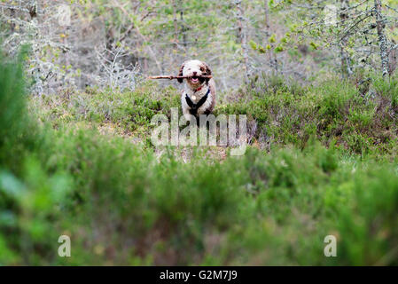 Spanish water dog playing in Scottish heather - Stock Photo