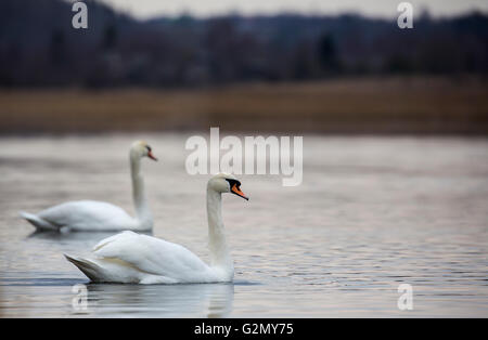 Romantic couple of swans are on the lake - Stock Photo