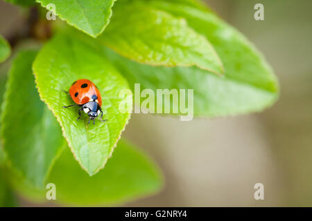 Ladybug on green leaf in garden. View with copy space - Stock Photo