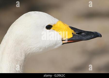 Eurasian Bewick's Swan (Cygnus bewickii, Cygnus columbianus bewickii), in profile close-up of the head and bill - Stock Photo