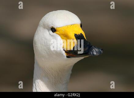 Eurasian Bewick's Swan (Cygnus bewickii, Cygnus columbianus bewickii), facing the camera - Stock Photo