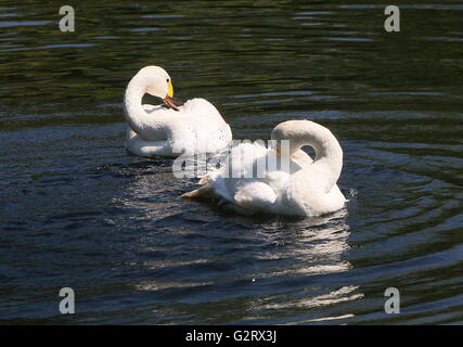 Male and female Eurasian Bewick's Swans (Cygnus bewickii, Cygnus columbianus bewickii) bathing and preening feathers - Stock Photo