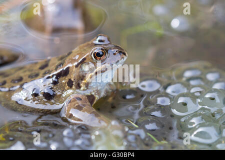 Common frog (Rana temporaria) in spawning pond, Northumberland, England, United Kingdom, Europe - Stock Photo