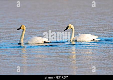 Tundra Swan with young adult swimming on Lake (Cygnus Columbianus) - Stock Photo
