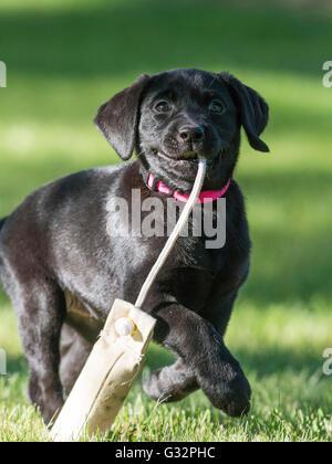 A Black Labrador Retriever retrieving a training bumper - Stock Photo
