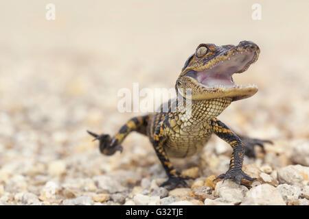 American Alligator (Alligator mississippiensis) hatchling, Florida, America, USA - Stock Photo