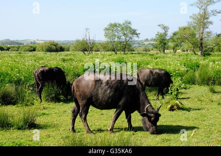 Water Buffalo grazing at The Welsh Wildlife Centre and Tieifi marshes Cilgerran Pembrokeshire - Stock Photo