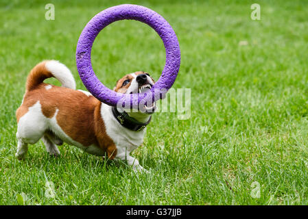 Dog demonstrating excellent teeth holding puller toy in mouth - Stock Photo