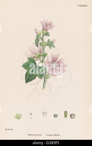 COMMON MALLOW         Date: 1863 - Stock Photo
