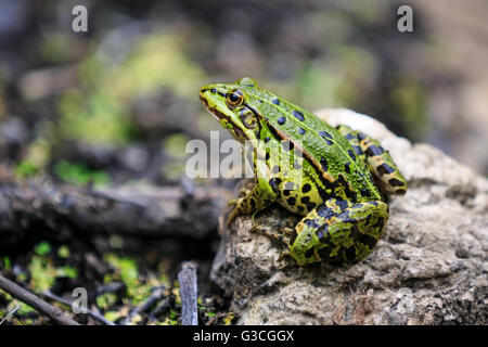 Frog sitting on a stone - Stock Photo