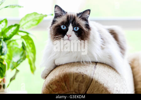 A blue eyed RagDoll cat sitting calmly on the end of a sofa - Stock Photo