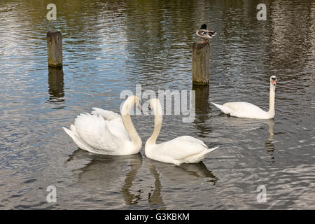 Two white swans during courtship. Swans are in the water an forming a shape of a heart - Stock Photo