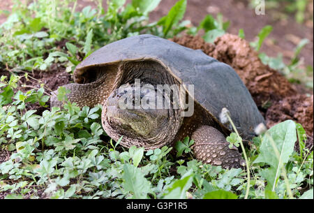 common snapping turtle Chelydra serpentina female on her nest. - Stock Photo