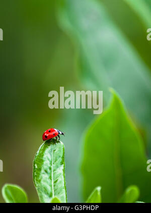 Closeup of ladybug on a leaf in a garden - Stock Photo