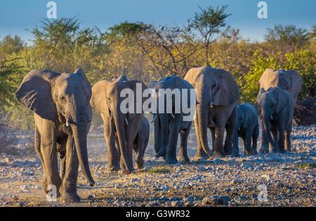 African elephants in Etosha National Park, Namibia. - Stock Photo