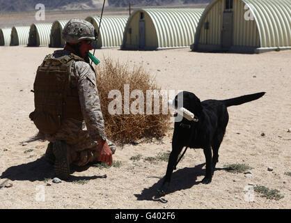 A dog handler calls over a black labrador while training. - Stock Photo