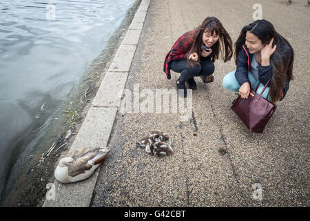 London, UK. 18th June, 2016. Egyptian goose goslings at Hyde Park Credit:  Guy Corbishley/Alamy Live News - Stock Photo