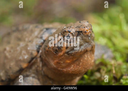 Common snapping turtle, Chelydra serpentina serpentina, juvenile - Stock Photo
