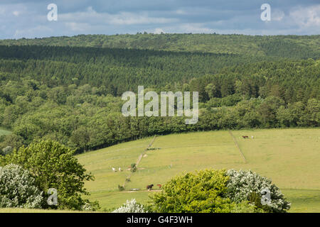 Tree toped hills in the South Downs of England. Rolling green chalk hills characteristic of Southern English countryside. - Stock Photo