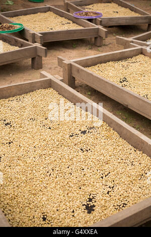 Coffee beans are sorted and dried on drying beds in Kasese District, Uganda, East Africa. - Stock Photo