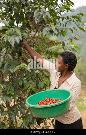 A woman harvests coffee in Kasese District, Uganda, East Africa. - Stock Photo