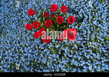 Red tulips (Tulipa sp.), wood forget-me-nots (Myosotis sylvatica), Mecklenburg-Western Pomerania, Germany - Stock Photo