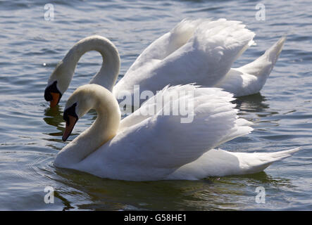 Isolated photo of two beautiful swans - Stock Photo