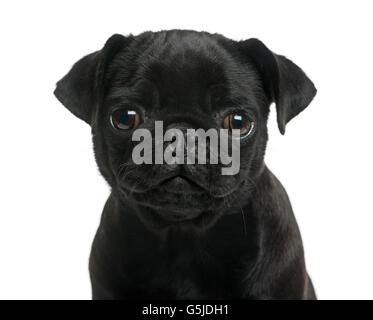 Close-up of a Pug puppy in front of a white background - Stock Photo