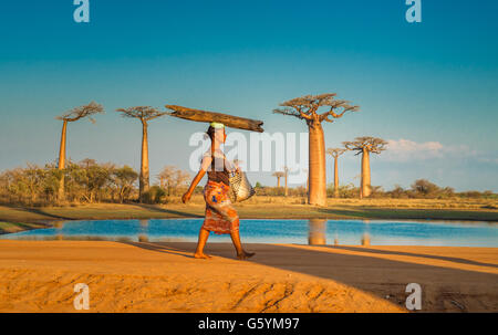 MORONDAVA, MADAGASCAR - September, 15, 2014: Woman carrying log on the head, Avenue of the Baobabs, Madagascar - Stock Photo