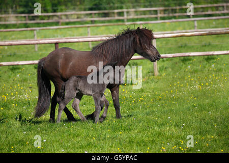 Mare with foal in meadow, Icelandic Horse (Equus przewalskii f. caballus), Lower Saxony, Germany - Stock Photo