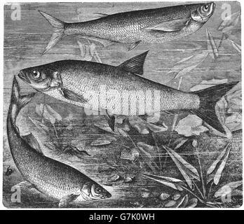 Pelecus cultratus, sichel, asp, Aspius aspius, common nase, Chondrostoma nasus, illustration from book dated 1904 - Stock Photo