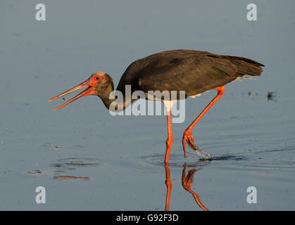 Black Stork (Ciconia nigra) - Stock Photo