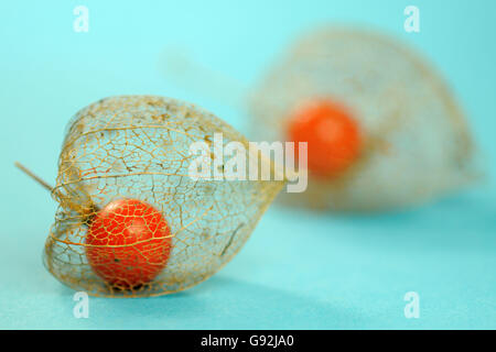 Japanese Lanterns / (Physalis franchetii, Physalis alkekengi ) / Chinese Lantern, Bladder Cherry - Stock Photo