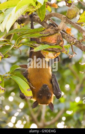 Indian fruit bat - Stock Photo