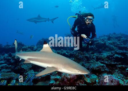 Diver and Blacktip Reefshark / (Carcharhinus melanopterus) - Stock Photo