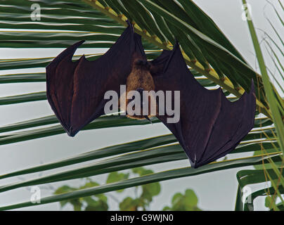 Flying fox, Pteropus hypomelanus, hanging from palm tree in Maldives - Stock Photo