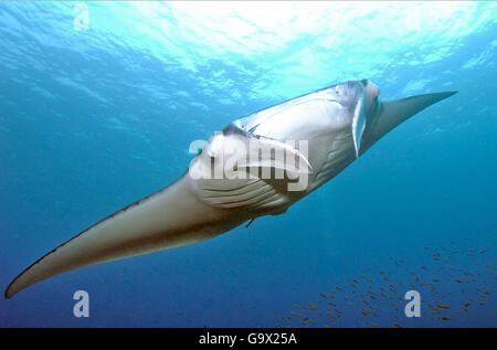 mantaray, manta, ray, devil's ray, devilray (Manta birostris) - Stock Photo