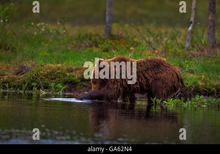 A young brown bear fishing in a lake in northern Finland. - Stock Photo