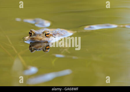 European or common toad (Bufo bufo) at spawning grounds, reflection, Harz, Saxony-Anhalt, Germany - Stock Photo