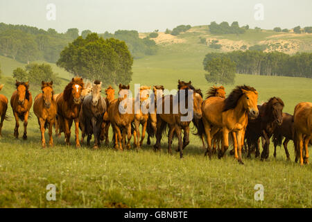 Inner Mongolia prairie horse - Stock Photo