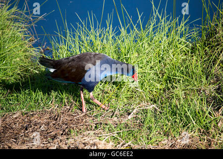 Purple swamp hen porphyria porphyria  standing  in the green grassy  field near the blue lake in Big Swamp  Bunbury - Stock Photo