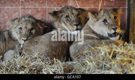 Lion cubs - Stock Photo