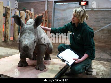 Baby White Rhino - Stock Photo
