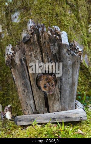 European wood mouse, Apodemus sylvaticus, in log cabin, Loch Lomond, Scotland - Stock Photo
