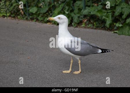 Lone Gull walking in the street - Stock Photo