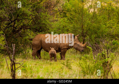 African rhino and baby, Kruger National Park, Johannesburg, South Africa, Africa - Stock Photo